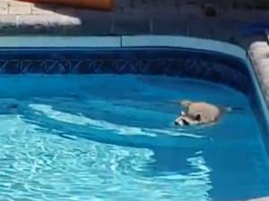 Στην πισίνα ο πιο χαριτωμένος… απρόσκλητος επισκέπτης! Video
