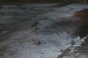 Λύκος αρπάζει μικρό σκυλί από αυλή στην Κοζάνη! – video