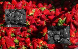 Αδίστακτοι! Έβαζαν βελόνες ραψίματος μέσα σε φράουλες που πωλούνται σε σούπερ-μάρκετ στην Αυστραλία!
