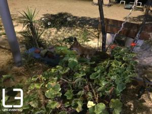 Αυτή είναι η αλεπουδίτσα της Χαλκιδικής που γευματίζει στις ταβέρνες [pics]