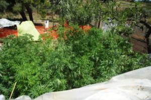 Ημαθία: Καλλιεργούσε 50 δενδρύλλια κάνναβης μέσα σε χωράφι