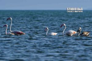 Οικογένεια φλαμίνγκο κάνει βόλτα στο Ναύπλιο [pics]