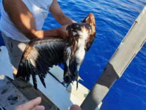 Γύπας… ναυαγός στο Ρέθυμνο – Καρέ καρέ η διάσωση του πτηνού [pics]