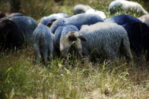Βόλος: Αγνοούμενος βοσκός που βγήκε να μαζέψει τα ζώα του – Τα ίχνη του χάθηκαν μυστηριωδώς!