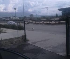 Γιάννενα: Πρόβατα «έκλεισαν» την εθνική οδό [pics]