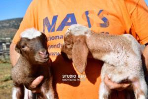 Ναύπλιο: Γεννήθηκαν αρνάκια χωρίς αυτιά! – video