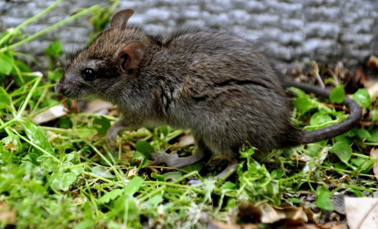 Παγκόσμιος συναγερμός! Κρούσμα με ηπατίτιδα Ε από ποντίκια σε άνθρωπο | Newsit.gr
