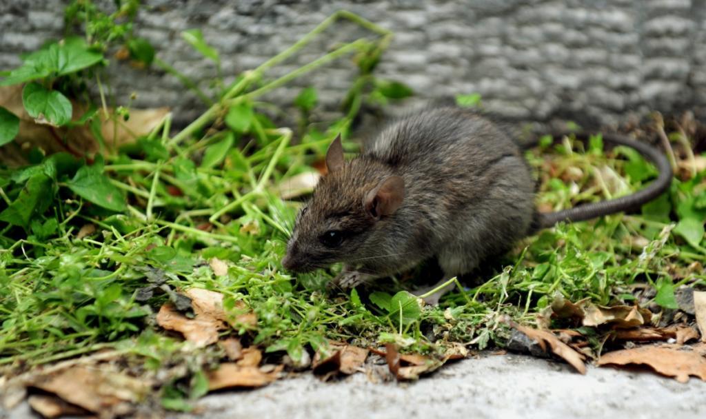 ηπατίτιδα Ε από ποντίκια