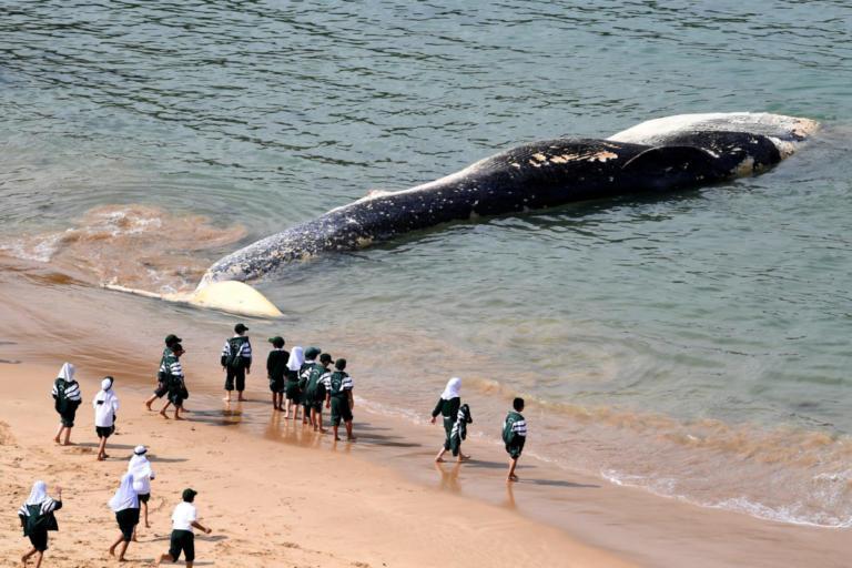 Τεράστια φάλαινα ξεβράστηκε στην Αυστραλία – Μαζεύτηκαν καρχαρίες! | Newsit.gr
