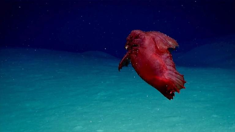 Ήξερες ότι υπάρχει «ακέφαλο κοτόπουλο τέρας» στη θάλασσα;