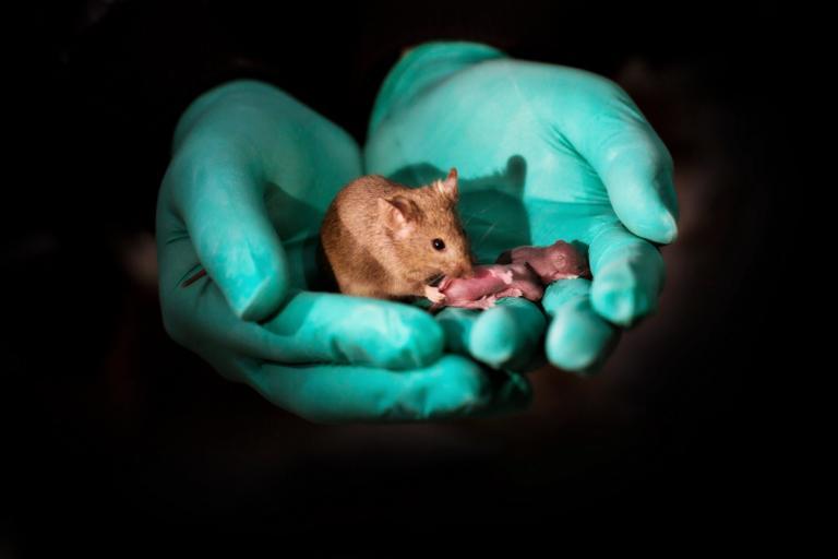 Αυτά είναι τα πρώτα υγιή ποντίκια από γονείς ιδίου φύλου | Newsit.gr