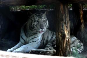 Σπάνιος λευκός τίγρης κατασπάραξε φύλακα στην Ιαπωνία – Τον βρήκαν μισοπεθαμένο στο κλουβί