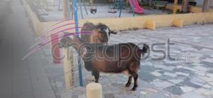 """""""Συνέλαβαν"""" κατσίκα και τράγο στην Κρήτη"""