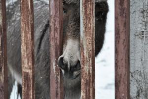 Σαντορίνη: «Οι υπέρβαροι τουρίστες δεν μπορούν πλέον να ανεβαίνουν στα γαϊδουράκια»!