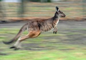 Άγρια επίθεση από καγκουρό – Το χτύπησαν με φτυάρι για να σωθούν! [video]