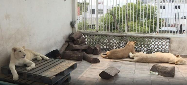 Έχει λιοντάρια στην… αυλή του και αρνείται να τα παραδώσει! [video] | Newsit.gr