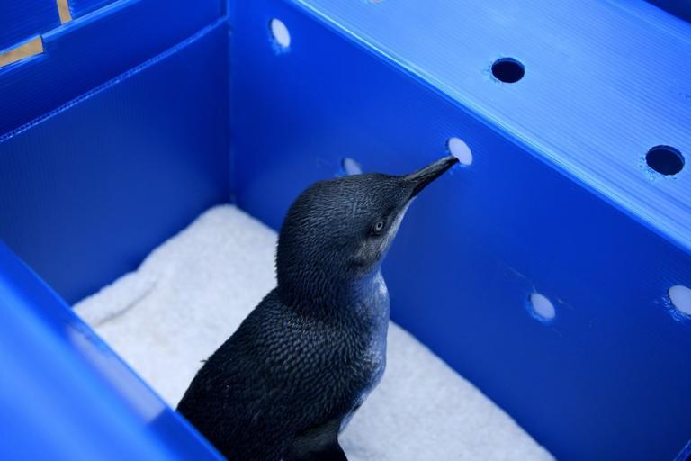Μυστήριο με 60 νεκρούς πιγκουίνους στην Αυστραλία – Το επικρατέστερο σενάριο | Newsit.gr