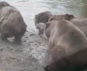 Αρκούδες κατασπάραξαν λύκαινα μπροστά στα μάτια έντρομων παιδιών [video]