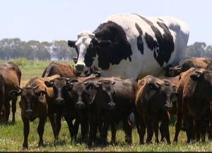 Αγελάδα – μαμούθ στην Αυστραλία! – Video