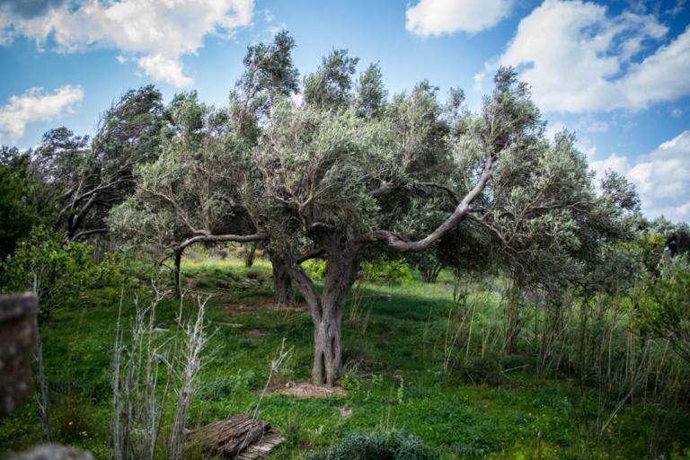 Φυτεύουν ελιές στις περιοχές της Αττικής που επλήγησαν από τις φωτιές! | Newsit.gr