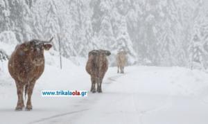 Τρίκαλα: Οι αγελάδες έφαγαν το… αλάτι που έριξαν τα εκχιονιστικά – video
