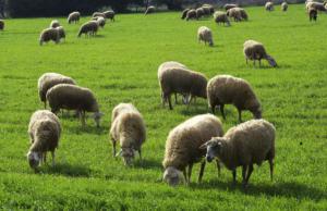 Έκαψε ζωντανά 100 πρόβατα γιατί… είχε διαφορές με τον κτηνοτρόφο!