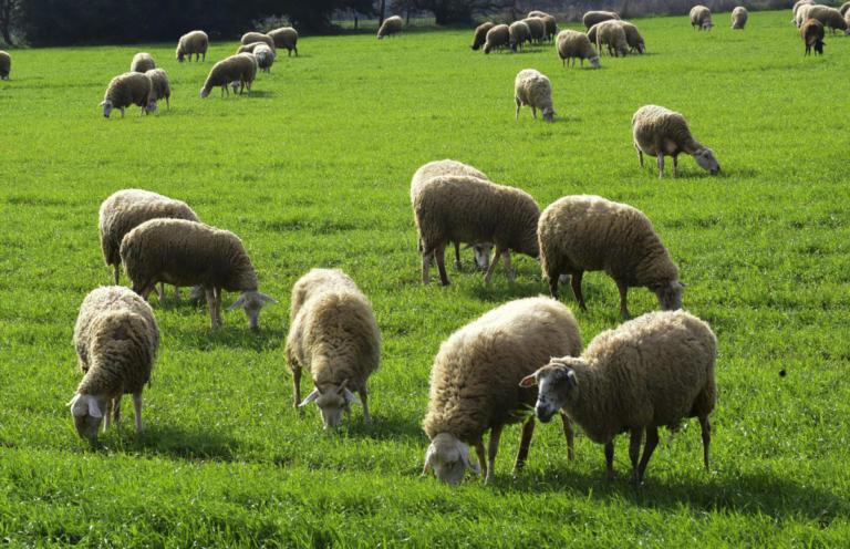 Έκαψε ζωντανά 100 πρόβατα γιατί… είχε διαφορές με τον κτηνοτρόφο! | Newsit.gr