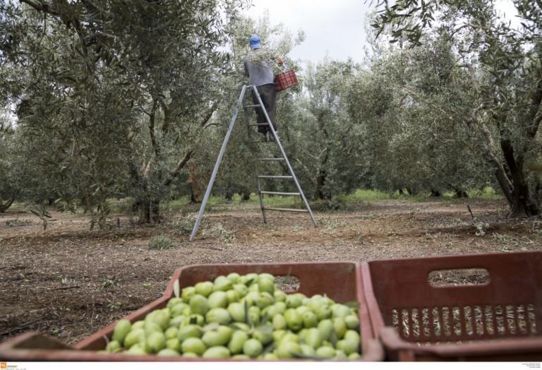 Το πιο καλό ελαιόλαδο στον κόσμο είναι για 1η φορά ελληνικό! | Newsit.gr