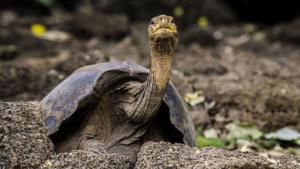 Μοναχικός Τζορτζ: Ψάχνουν το «μυστικό» της μακροζωίας στο DNA της γιγάντιας χελώνας