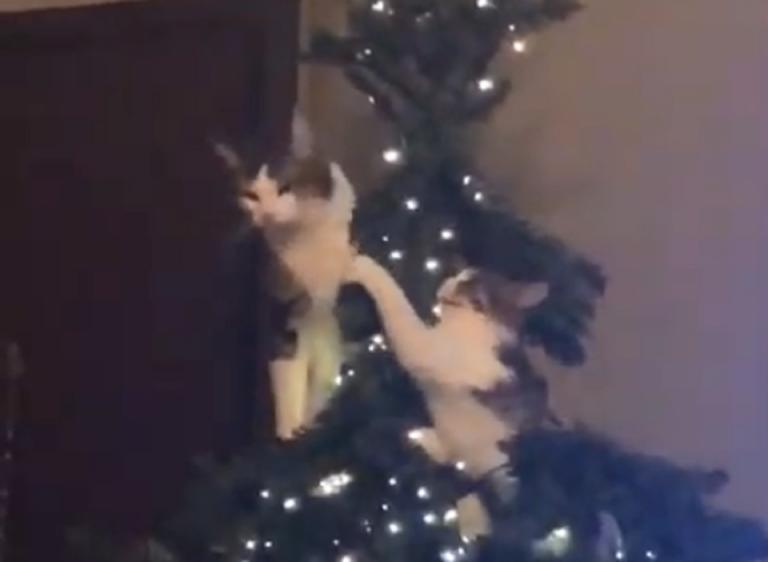 Δυο γάτες αποφάσισαν να λύσουν τις… διαφορές τους πάνω στο Χριστουγεννιάτικο δέντρο! – video   Newsit.gr