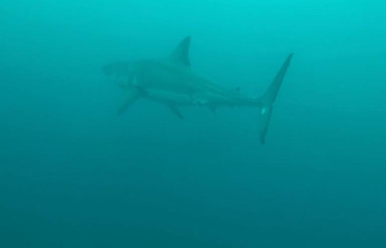 Τον δάγκωσε καρχαρίας – Σε σοβαρή κατάσταση ο σέρφερ! video   Newsit.gr