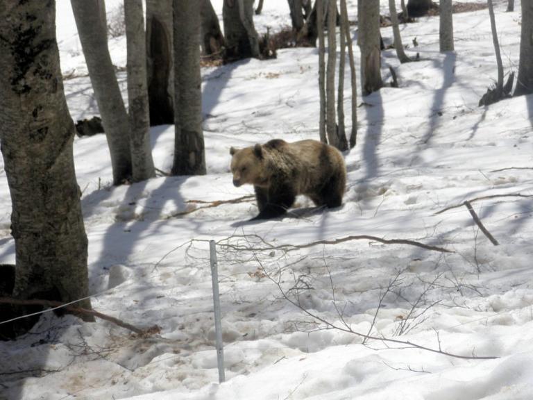 Σε χειμερία νάρκη άρχισαν να πέφτουν οι αρκούδες του «Αρκτούρου»