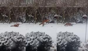 Αλεπού βρήκε παιχνίδι σκύλου και παίζει με την ψυχή της