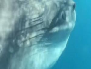 Ζάκυνθος: Βούτηξαν και είδαν μπροστά τους αυτό το τεράστιο τοξικό ψάρι – Οι εικόνες του βυθού [vid]