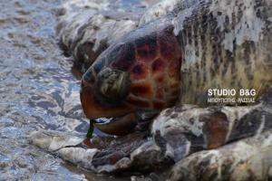 Αργολίδα: Χτυπημένη θαλάσσια χελώνα ξεβράστηκε νεκρή [pics, vid]