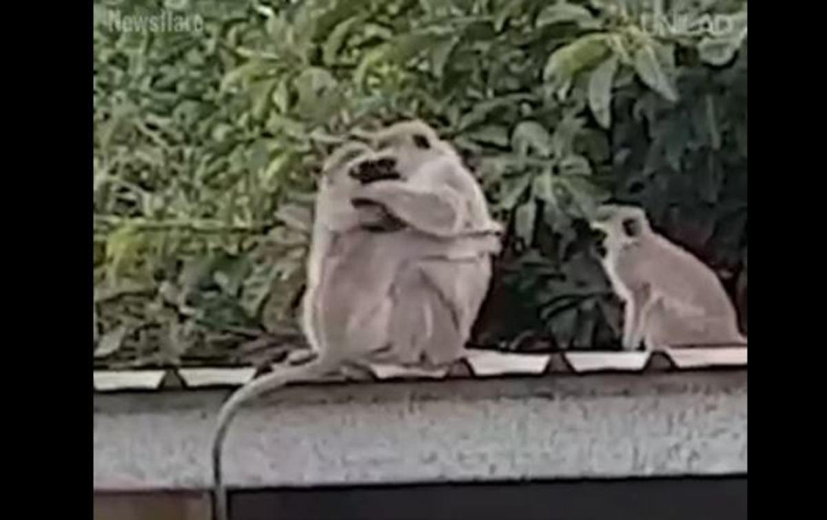 Η συγκινητική αντίδραση μιας οικογένειας μαϊμούδων όταν επανασυνδέεται με το μωρό της!