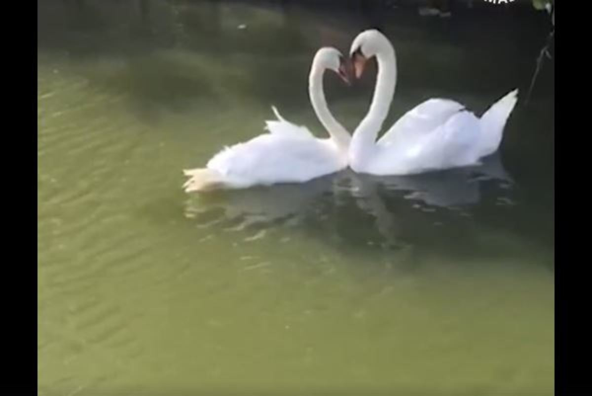 Η γλυκιά επανασύνδεση δύο ερωτευμένων κύκνων που χωρίστηκαν για εβδομάδες