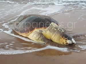Χανιά: Τεράστια χελώνα ξεβράστηκε νεκρή στους Αγίους Αποστόλους [pics]