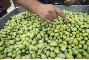 Λέσβος: Έκλεψε από το ξένο αγρόκτημα 100 κιλά ελιές!
