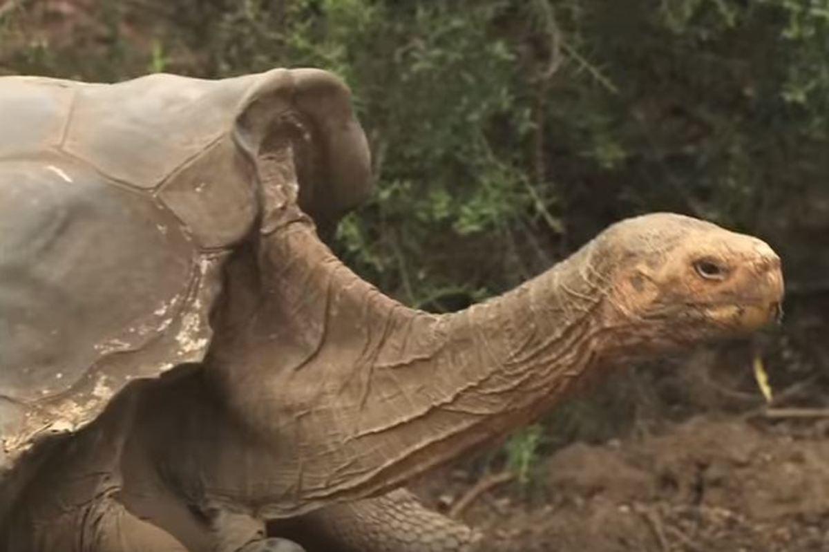 Η χελώνα Ντιέγκο έκανε τόσο πολύ σεξ που έσωσε το είδος της