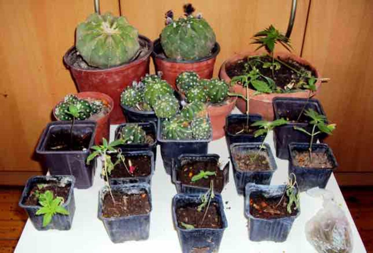 Κρήτη: Καλλιεργούσαν παραισθησιογόνους κάκτους και χασισόδεντρα