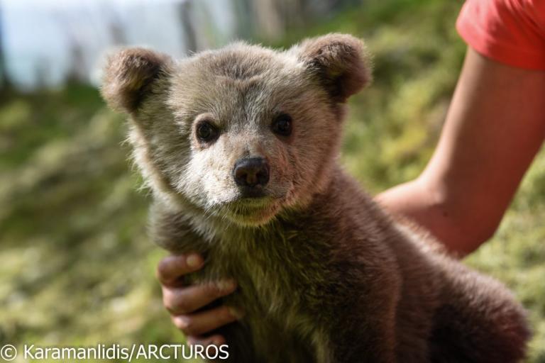 Φλώρινα: Γνωρίστε το ορφανό αρκουδάκι που έχει κερδίσει τους πάντες – Βρέθηκε σε αυτοκινητόδρομο [pics]