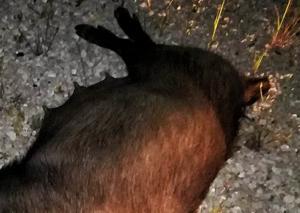 Μεσσηνία: Τράκαρε με αγριογούρουνο 60 κιλών και είδε αυτές τις εικόνες – Εφιάλτης για νεαρή οδηγό [pics]