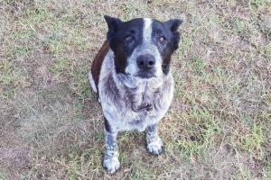 Απίστευτο: Κωφός και σχεδόν τυφλός σκύλος προστάτευσε 3χρονη που είχε χαθεί