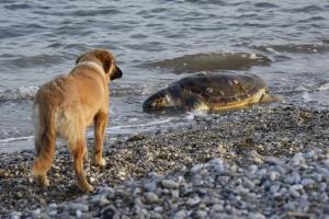 Θαλάσσια χελώνα καρέτα – καρέτα εντοπίστηκε νεκρή στο Πόρτο Λάγος
