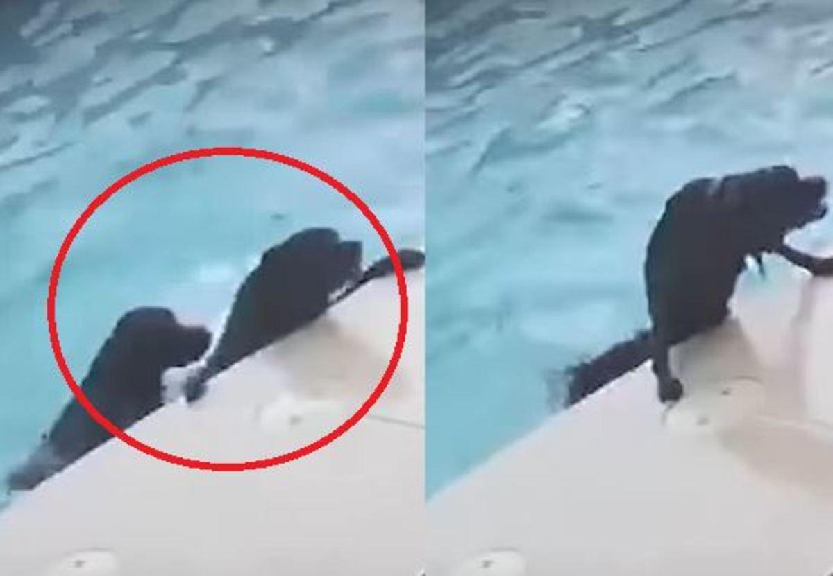 Η απίστευτη προσπάθεια ενός σκύλου να σώσει σκύλο που πνίγεται