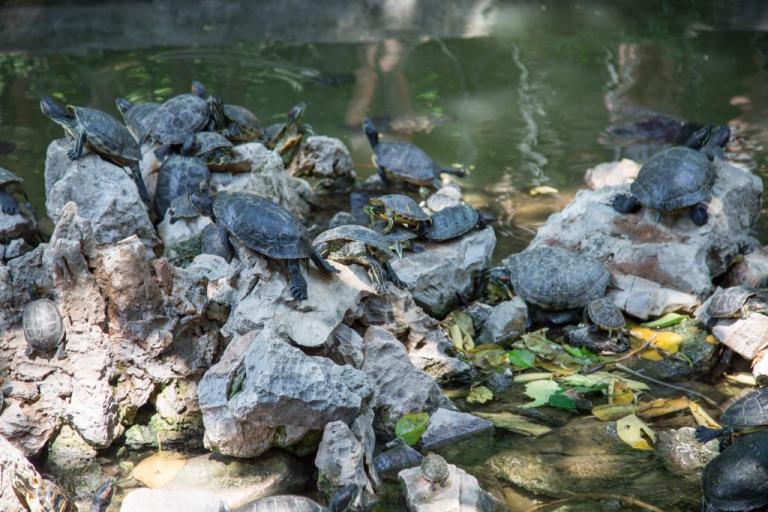 Δεκάδες χελώνες απελευθερώθηκαν στον Κόλπο του Μεξικού