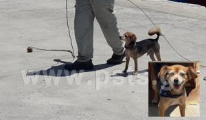 Αυτός είναι ο σκύλος… καβοδέτης της Μυκόνου που έχει γίνει διάσημος! [vid]