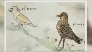Σπουδαία ανακάλυψη! Ο παπαγάλος αποκάλυψε ότι υπήρχε από τον 13ο αιώνα εμπορική οδός μεταξύ Αυστραλίας και Ευρώπης