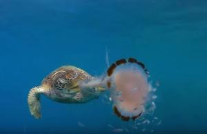 Ο απίστευτος τρόπος με τον οποίο μια θαλάσσια χελώνα καταβροχθίζει μέδουσα